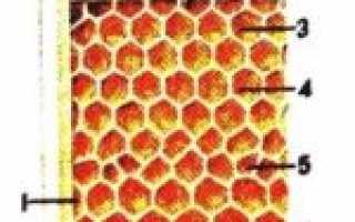 Соты и периоды жизни пчелиной семьи