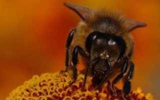 Нервная и Репродуктивная системы у пчел