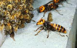 Как бороться с пчелами-воровками на пасеке?
