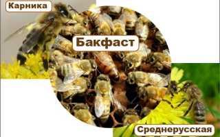 Описание популярных пчелиных пород