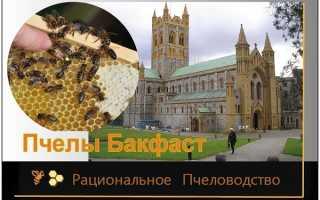 Характеристика пчелиной породы бакфаст