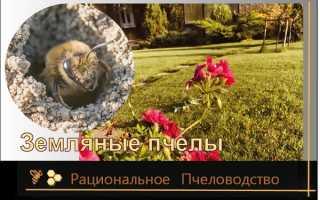 Земляные пчелы: друзья или враги?