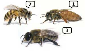 трутень это пчела мужского пола