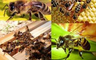 Осеннее слияние пчелосемей: способы объединения и полезные советы