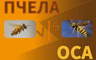 Пчела и Оса сходство и различие