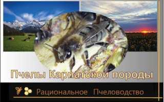 Пчелы карпатской породы