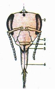 схема головы пчелы