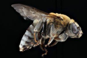 медоносная пчела летит
