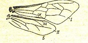 схема пчелы крылья