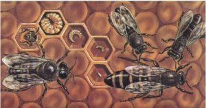 пчела - стадии развития