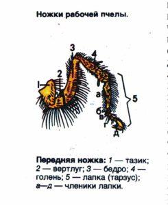 схема ножки пчелы передняя