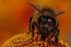 пчела-bee