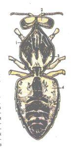 схема дыхания пчелы