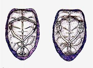 схема половые органы рабочей пчелы