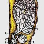 продольный разрез брюшка пчелы схема