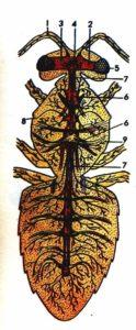 схема-нервная система пчелы