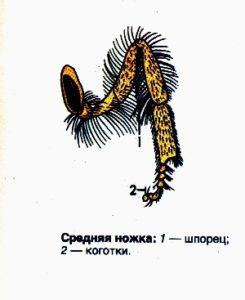 схема пчелы средняя ножка