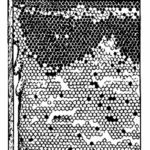 схема: Сот с расплодом и свищевыми маточниками.