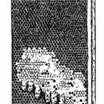 схема: Сот с расплодом и роевыми маточниками.