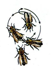 круговой танец пчел - схема