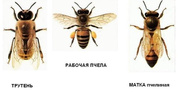 трутень, матка рабочая пчела