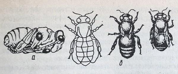 схема поражений от клеща varroa