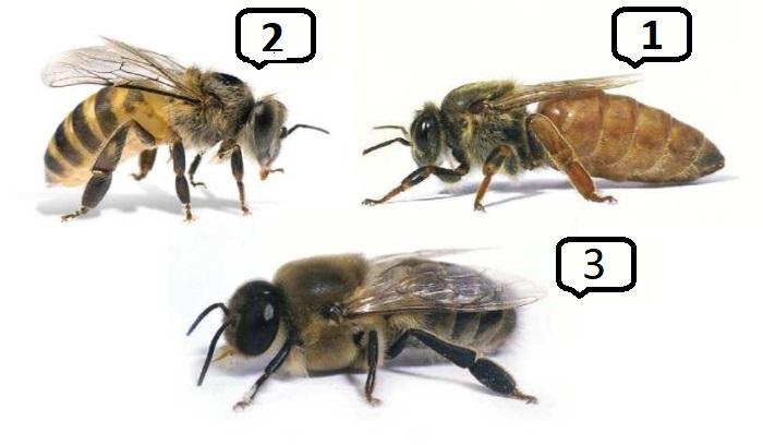 матка, рабочая пчела, трутень