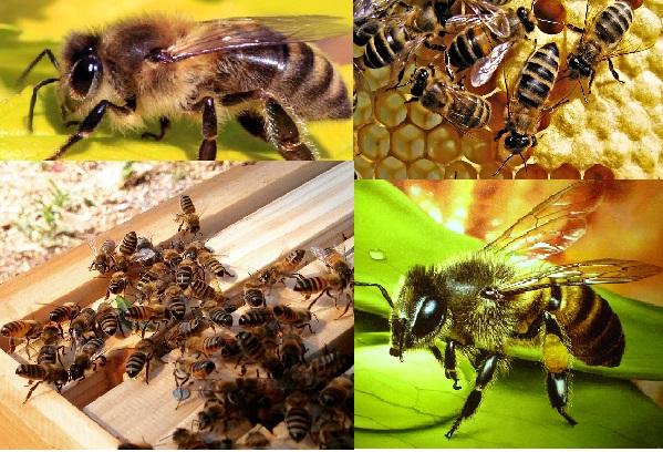 пчелы медоносные в улье