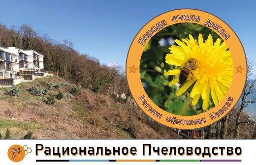 дикие пчелы кавказа